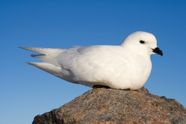 petrel_des_neiges_-_snow_petrel