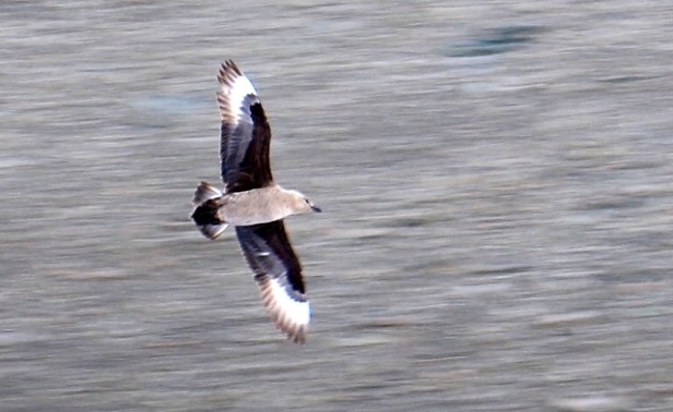 photo-6-skua-en-vol
