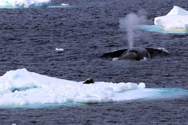 whales-blue-whale-in-antarctica-ckim-collins