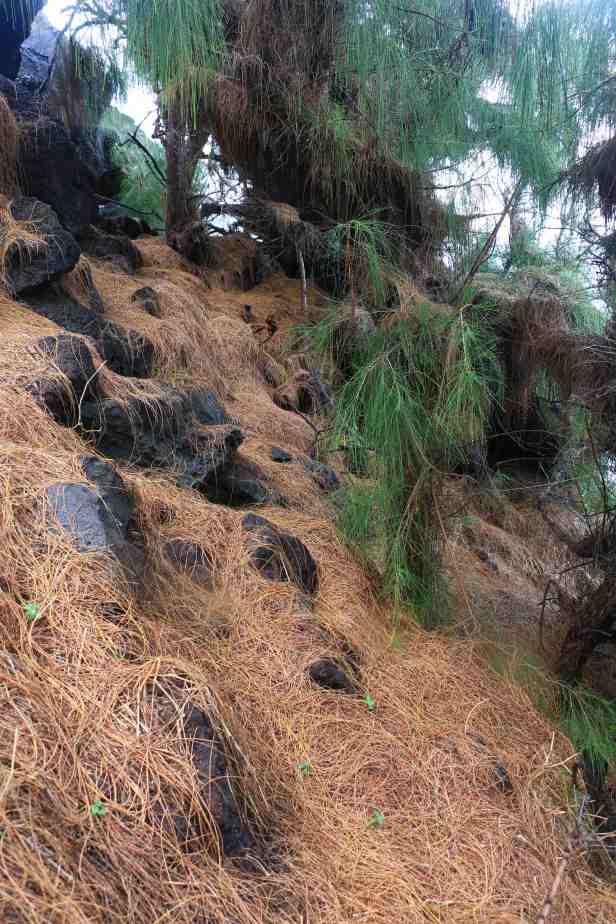 photo 11- les feuilles des Filao couvrent le sol et cachent parfois l'entrée des nids