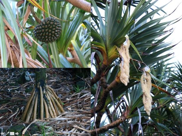 photo 14- Vacoa ou arbre aux trois couteaux