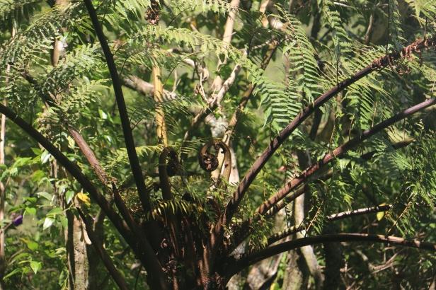 photo 4- fougère arborescente