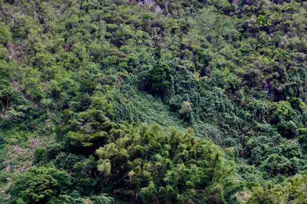 photo 8- le chouchou, une liane envahissante, recouvre peu à peu les arbres de la forêt