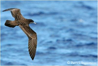 Photo 9- Puffin du Pacifique ou fouquet